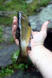 Choke Creek Native Brook Trout. Caught and Released.