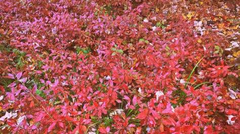 Redbush Patch