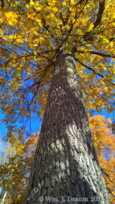 Yellow Oak