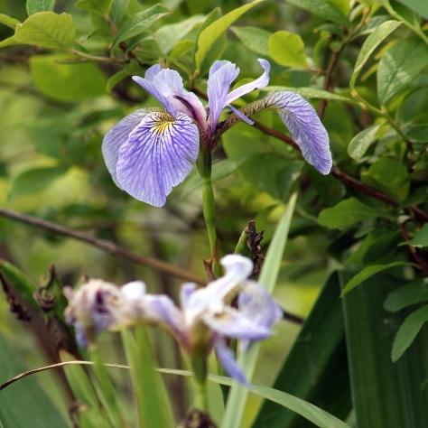 Iris.2